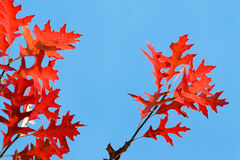 Red oak under blue sky Royalty Free Stock Photo
