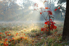 Red oak young tree in the autumn sunlight Stock Photos