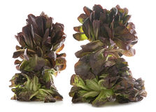 Red oakleaf lettuce. In front of white background Stock Photography