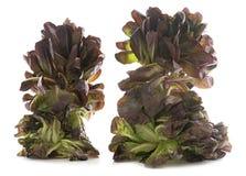 Red oakleaf lettuce Stock Photography
