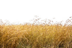 Free Red Oat Grass Isolated Royalty Free Stock Image - 97641206