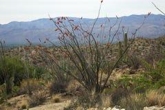 Ocotillo in Bloom Springtime Tucson, Arizona. Red Ocotillo in Bloom Springtime Tucson, Arizona. Sonoran Desert plants and cacti stock photos