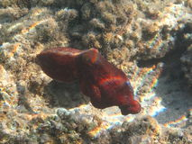 Red octopus Royalty Free Stock Image