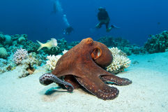 Red Octopus Royalty Free Stock Photo