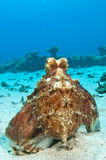 Red Octopus. Octopus on a coral reef in the Red Sea in clear blue water Stock Photography