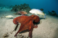 Red Octopus clings to coral reef Stock Image