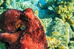 Red octopus is on a coral bottom Royalty Free Stock Images