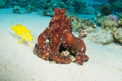 Red Octopus on coral reef Stock Photo