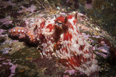 Red octopus. Eastern red octopus sitting on the bottom Royalty Free Stock Photos
