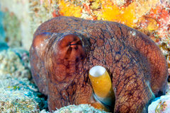 Red Octopus hiding in a rocky hole Royalty Free Stock Photos