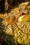 Red octopus in the wild at sea. Red octopus in the wild in mediterrian sea Stock Photography