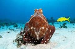 Red Octopus with yellow goat fish. Octopus on a coral reef in the Red Sea in clear blue water Royalty Free Stock Photography