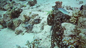 Red Octopus and Yellow-saddle Goatfish on coral reef stock video