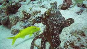 Red Octopus and Yellow-saddle Goatfish on coral reef stock video footage