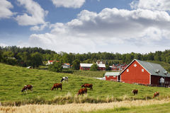 Red old farm in a rural country-side. Red farm and cattle set in old 17th century rural country-side. sweden, smaland Royalty Free Stock Image