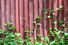 Red old wall with vine Royalty Free Stock Photo