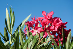 Red oleander flower against the sky Stock Images