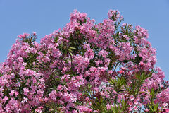 Red oleander flowers. (Nerium oleander) on blue sky background Stock Photography