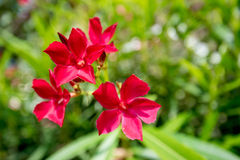 Red oleander or Nerium Royalty Free Stock Photo