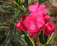 Red oleander Stock Photo