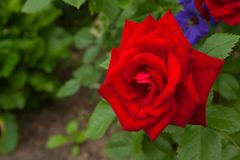 Red one rose flower in the garden on a green background royalty free stock photos