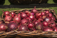 Red onion. In the brown basket on sunny day Royalty Free Stock Photo