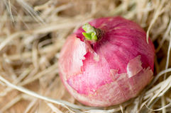 Red onion bulb Stock Photography