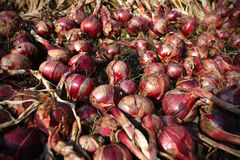 Red onion bulbs growing on the field Stock Image