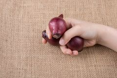 Red onion bulbs in hand on canvas royalty free stock photography