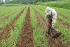 Red onion farmer. A men work in red onion fields with his hoe on Cepogo, Central Java, Indonesia Stock Images