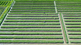 Red onion field and farmer. Beautiful aerial view of red onion field with green leaves and group of farmer. Shot in Brebes, Central Java, Indonesia Royalty Free Stock Photo