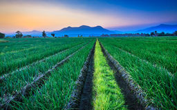 Red onion field with mountain background Royalty Free Stock Photos
