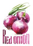 Red Onion. Hand drawing watercolor on white background with title. vector illustration