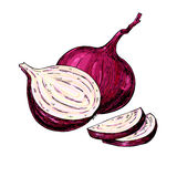 Red Onion hand drawn vector illustration. Vegetable Isolated object. Stock Photos