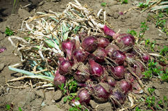 Red onion harvest Stock Photography