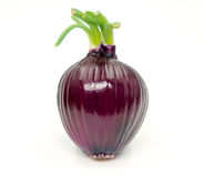 Red onion isolated on white background. 。 Royalty Free Stock Image