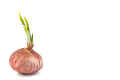 Red onion with young shoots, flushed left. Closeup on red onion with young shoots isolated in white stock image