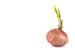 Red onion with young shoots, flushed right Royalty Free Stock Image