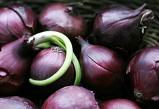 Red onions. In basket, something fresh and green growing from them Stock Image