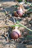 Red onions on ground Stock Photography