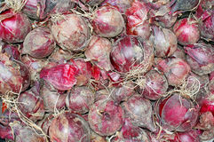 Red onions have just dug out of the earth as background Royalty Free Stock Photos