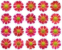 Red open flowers pattern on white backgrounds Stock Photo