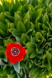 Red Open tulip on the background of green flowers royalty free stock photos