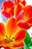 Red opened tulips royalty free stock photo