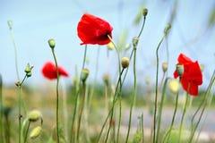 Red Opium Flower On Blue Sky Background. Red Poppies Blossom On Wild Field. Opium Poppy Full Bloom. Macro Opium Flower. Royalty Free Stock Photography