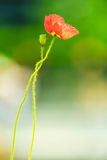 Red opium poppy. Blooming red opium poppy flower stock photography