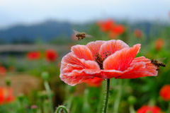 Red opium poppy flower with bees Royalty Free Stock Images