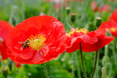 Red opium poppy flower with bees Royalty Free Stock Photo