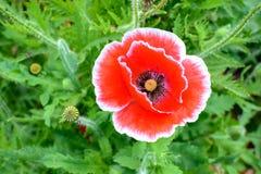 Red opium poppy flower. Stock Photo