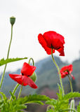 Red opium poppy Stock Photography